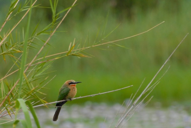 Bee-eater 1