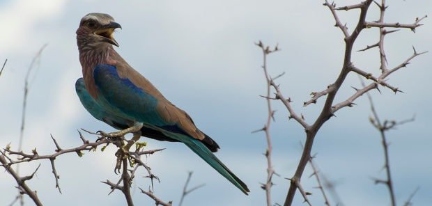 Lilac Breasted Roller3