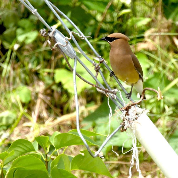 Cedar Waxwing Jun15-17